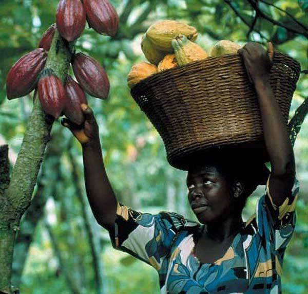 COCOA PRODUCTION IN NIGERIA PDF