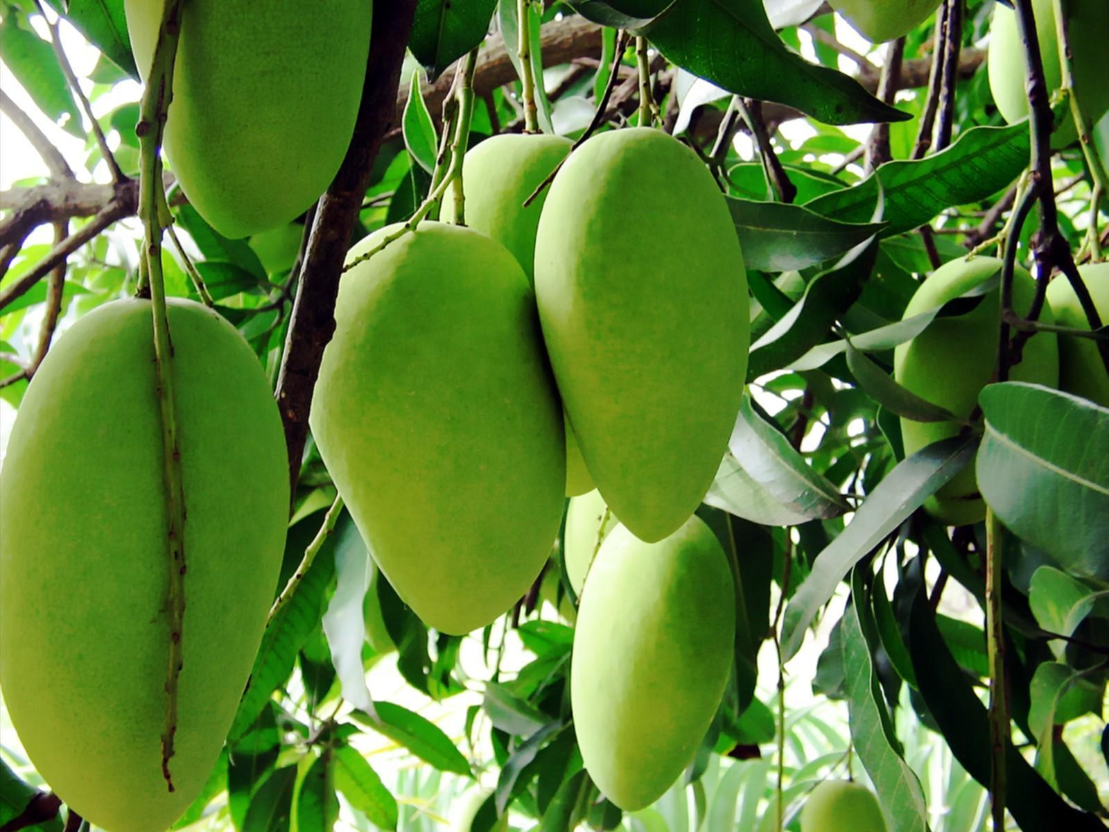 IFC To Invest $15m In Malawi Mangoes - Ventures Africa