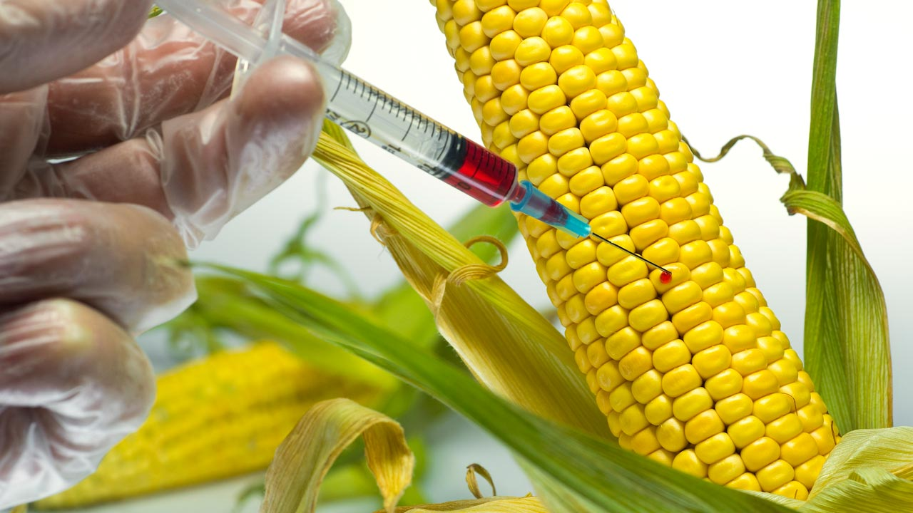 detection of genetically modified maize in Detection of genetically modified maize events in brazilian maize-derived food products  maria regina branquinho i,  déborah márcia vasconcelos gomes ii.