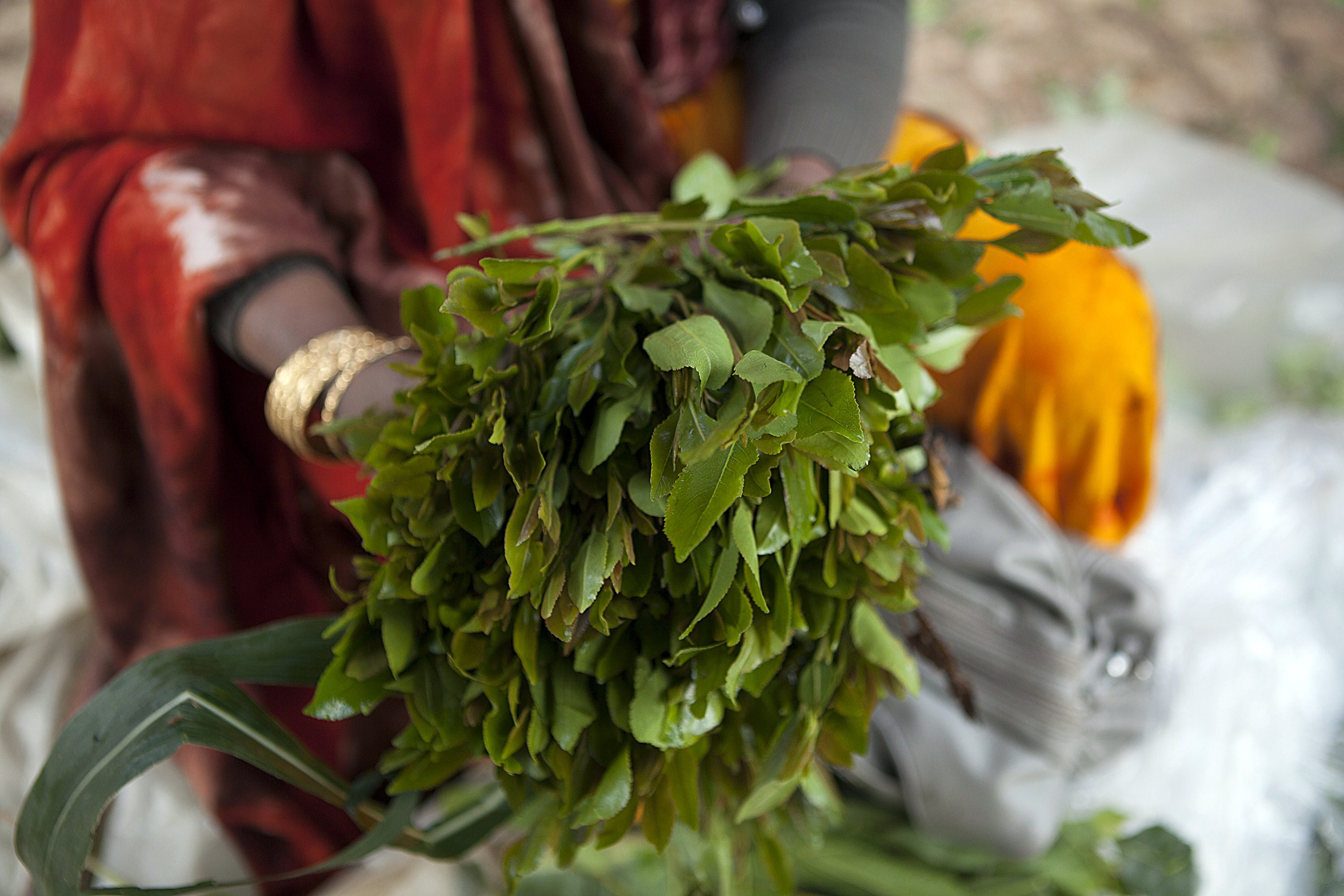 here is why somalia is resuming the importation of khat