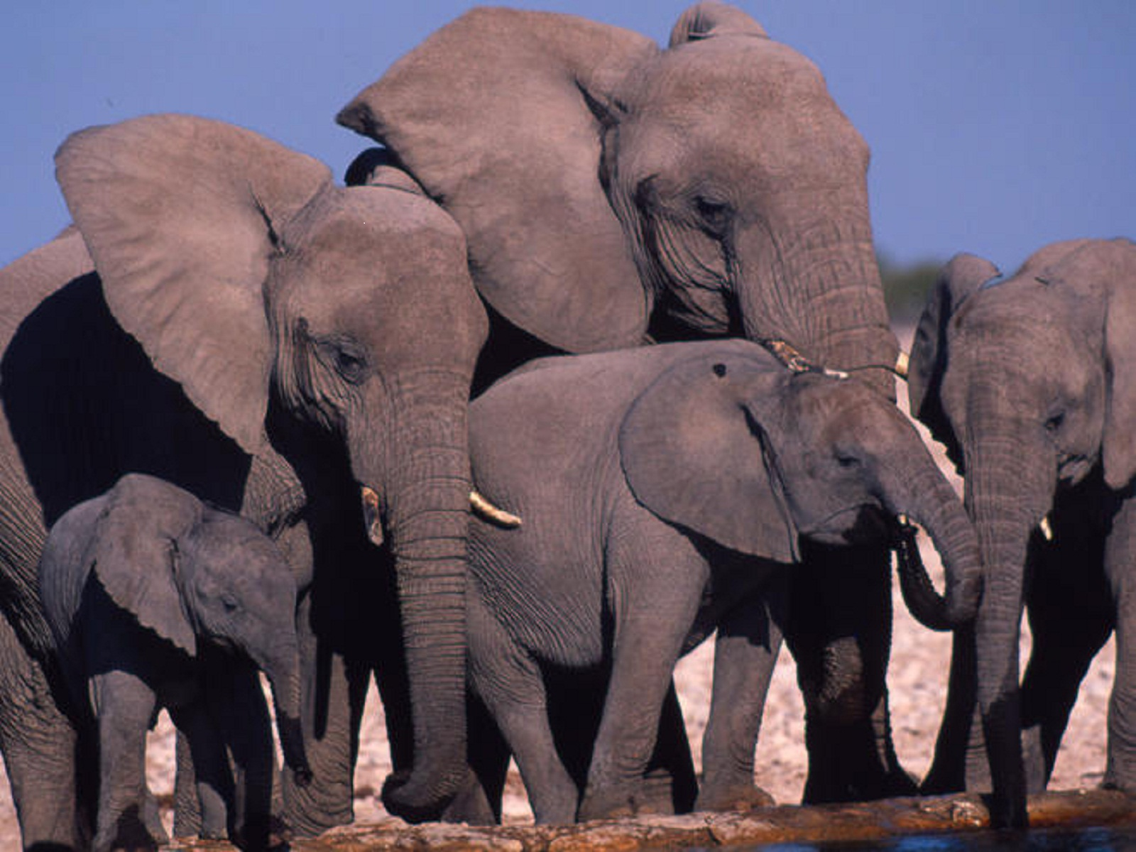United state and china ban ivory trade ventures africa - Image elephant ...