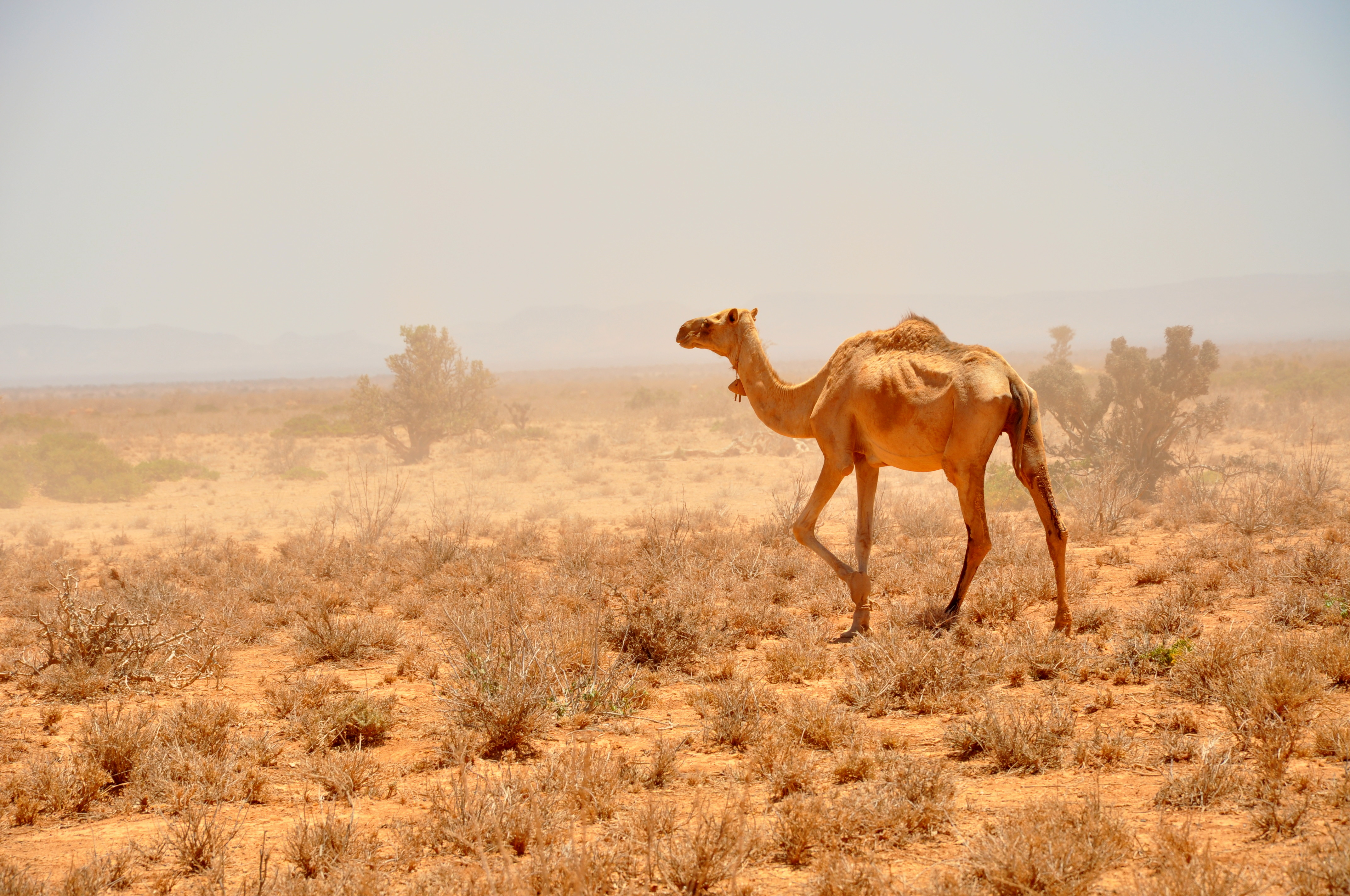 Marching for the climate: The death of pack animals reiterates the dire situation caused by drought in East Africa